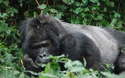Gorillatrekking i Bwindi